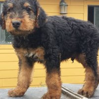 Airedale Terrier Puppies Austin Tx