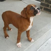 Boxer Puppies In Nashville Tn