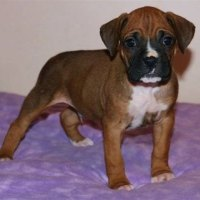 Boxer Puppies In St Louis Mo