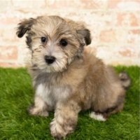 Havanese Puppies In St Louis Mo